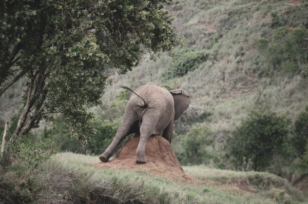 Young bull elephant scratching on termite mound