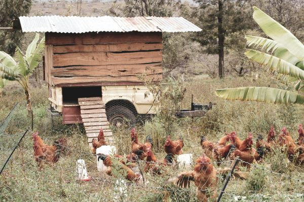 Hens going about their business, cleaning and fertilising the land on Kebati Regenerative Farm