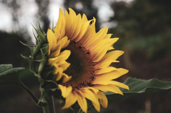Sunflower and insects in harmony at Kebati Regenerative Farm