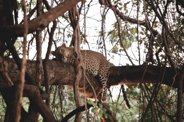 Female leopard relaxing after large meal