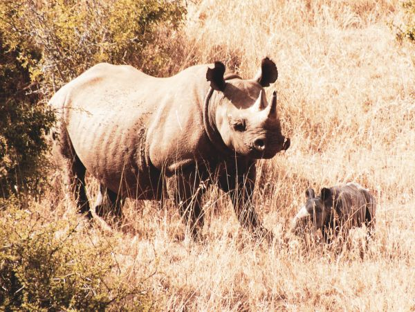 Black Rhino with her calf - an endangered species
