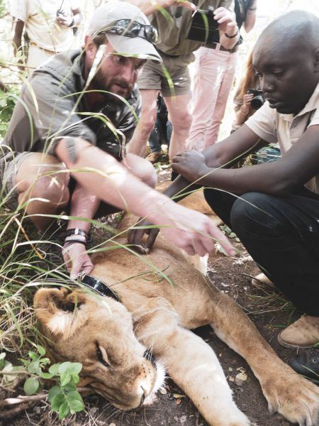 Conservancy team collaring a lioness - an endangered species